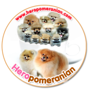จำหน่ายลูกสุนัขพันธุ์ปอมทุกเกรด ทุกสี ยินดีให้คำปรึกษาสำหรับผู้เริ่มเลี้ยง รับประกัน สุขภาพ 30 วัน