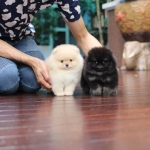 Available male,High quality,tiny,bear face,party,champion blood line,big foot,we can export to world wide for your interesting - Please contact us line : @heropom for ask detial or tel :+66957899445 whatapp : +66957899445 Price of dog