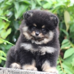 Available male (2 month old) ,High quality,tiny,bear face,champion blood line,big foot,we can export to world wide for your interesting - Please contact us line : @heropom for ask detial or tel :+66957899445 whatapp : +66957899445 Price of dog include Mic