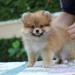 Available female,tiny,bear face,party,champion blood line,big foot,we can export to world wide for your interesting - Please contact us line : @heropom for ask detial or tel :+66957899445 whatapp : +66957899445 Price of dog