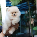 Available female,High quality,tiny,bear face,party,champion blood line,big foot,we can export to world wide for your interesting - Please contact us line : @heropom for ask detial or tel :+66957899445 whatapp : +66957899445 Price of dog