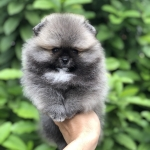 Available female (2 month old) ,High quality,tiny,bear face,champion blood line,big foot,we can export to world wide for your interesting - Please contact us line : @heropom for ask detial or tel :+66957899445 whatapp : +66957899445 Price of dog include M