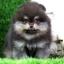 ปอมหน้าหมี เพศผู้ สีแบล็คแทน อายุ2เดือน ขนแน่นฟู ขาใหญ่ ทรงสั้นสวย ...แนะนำเข้าชมตัวจริงได้ที่ ลาดพร้าว 101 แยก 46 นัดล่วงหน้าอย่างน้อย 1-2 ชม. ได้ที่ Line : @heropom Tel : 0890888441 นะครับ thumbnail 5