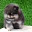 ปอมหน้าหมี เพศผู้ สีแบล็คแทน อายุ2เดือน ขนแน่นฟู ขาใหญ่ ทรงสั้นสวย ...แนะนำเข้าชมตัวจริงได้ที่ ลาดพร้าว 101 แยก 46 นัดล่วงหน้าอย่างน้อย 1-2 ชม. ได้ที่ Line : @heropom Tel : 0890888441 นะครับ thumbnail 2