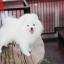 ปอมหน้าหมี เพศผู้ สีขาวครีม หน้าสั้น ฟอร์มสวย ขาใหญ่ สายเลือดดี ขนสวย อายุ 4 เดือนครับ ...แนะนำเข้าชมตัวจริงได้ที่ ลาดพร้าว 101 แยก 46 นัดล่วงหน้าอย่างน้อย 1-2 ชม. ได้ที่ Line : @heropom Tel : 0890888441 นะครับ thumbnail 5