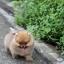 ปอมหน้าหมี เพศผู้ อายุ 2 เดือน ขาใหญ่ ขนแน่นฟู ทรงสั้นสวย ...แนะนำเข้าชมตัวจริงได้ที่ โชคชัย 4 ซ 36 นัดล่วงหน้าอย่างน้อย 1-2 ชม. ได้ที่ Line : @heropom Tel : 0890888441 นะครับ thumbnail 6