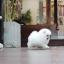 ปอมหน้าหมี เพศผู้ สีขาวครีม ขนสำลี หน้าสั้น ขาใหญ่ สายเลือดดี ขนสวย อายุ 2 เดือนครับ ...แนะนำเข้าชมตัวจริงได้ที่ ลาดพร้าว 101 แยก 46 นัดล่วงหน้าอย่างน้อย 1-2 ชม. ได้ที่ Line : @heropom Tel : 0890888441 นะครับ thumbnail 6