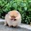 ปอมหน้าหมี เพศผู้ อายุ 2 เดือน ขาใหญ่ ขนแน่นฟู ทรงสั้นสวย ...แนะนำเข้าชมตัวจริงได้ที่ โชคชัย 4 ซ 36 นัดล่วงหน้าอย่างน้อย 1-2 ชม. ได้ที่ Line : @heropom Tel : 0890888441 นะครับ thumbnail 7