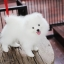 ปอมหน้าหมี เพศผู้ สีขาวครีม หน้าสั้น ฟอร์มสวย ขาใหญ่ สายเลือดดี ขนสวย อายุ 4 เดือนครับ ...แนะนำเข้าชมตัวจริงได้ที่ ลาดพร้าว 101 แยก 46 นัดล่วงหน้าอย่างน้อย 1-2 ชม. ได้ที่ Line : @heropom Tel : 0890888441 นะครับ thumbnail 3