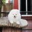 ปอมหน้าหมี เพศผู้ สีขาวครีม หน้าสั้น ฟอร์มสวย ขาใหญ่ สายเลือดดี ขนสวย อายุ 4 เดือนครับ ...แนะนำเข้าชมตัวจริงได้ที่ ลาดพร้าว 101 แยก 46 นัดล่วงหน้าอย่างน้อย 1-2 ชม. ได้ที่ Line : @heropom Tel : 0890888441 นะครับ thumbnail 6