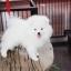 ปอมหน้าหมี เพศผู้ สีขาวครีม หน้าสั้น ฟอร์มสวย ขาใหญ่ สายเลือดดี ขนสวย อายุ 4 เดือนครับ ...แนะนำเข้าชมตัวจริงได้ที่ ลาดพร้าว 101 แยก 46 นัดล่วงหน้าอย่างน้อย 1-2 ชม. ได้ที่ Line : @heropom Tel : 0890888441 นะครับ thumbnail 2