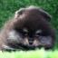 ปอมหน้าหมี เพศผู้ สีแบล็คแทน อายุ2เดือน ขนแน่นฟู ขาใหญ่ ทรงสั้นสวย ...แนะนำเข้าชมตัวจริงได้ที่ ลาดพร้าว 101 แยก 46 นัดล่วงหน้าอย่างน้อย 1-2 ชม. ได้ที่ Line : @heropom Tel : 0890888441 นะครับ thumbnail 4