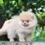 ปอมหน้าหมี เพศผู้ อายุ 2 เดือน ขาใหญ่ ขนแน่นฟู ทรงสั้นสวย ...แนะนำเข้าชมตัวจริงได้ที่ โชคชัย 4 ซ 36 นัดล่วงหน้าอย่างน้อย 1-2 ชม. ได้ที่ Line : @heropom Tel : 0890888441 นะครับ thumbnail 2