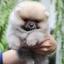 ปอมหน้าหมี เพศผู้ หน้าสั้น ขาใหญ่ สายเลือดดี ขนสวย อายุ 2 เดือนครับ ...แนะนำเข้าชมตัวจริงได้ที่ ลาดพร้าว 101 แยก 46 นัดล่วงหน้าอย่างน้อย 1-2 ชม. ได้ที่ Line : @heropom Tel : 0890888441 นะครับ thumbnail 3
