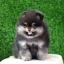 ปอมหน้าหมี เพศผู้ สีแบล็คแทน อายุ2เดือน ขนแน่นฟู ขาใหญ่ ทรงสั้นสวย ...แนะนำเข้าชมตัวจริงได้ที่ ลาดพร้าว 101 แยก 46 นัดล่วงหน้าอย่างน้อย 1-2 ชม. ได้ที่ Line : @heropom Tel : 0890888441 นะครับ thumbnail 1