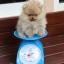 ปอมหน้าหมี เพศผู้ ไซส์ทีคัพ หน้าสั้น สีส้ม ขนแน่น ขาใหญ่ สายเลือดดี ขนสวย อายุ 3 เดือนครับ ...แนะนำเข้าชมตัวจริงได้ที่ ลาดพร้าว 101 แยก 46 นัดล่วงหน้าอย่างน้อย 1-2 ชม. ได้ที่ Line : @heropom Tel : 0890888441 นะครับ thumbnail 2