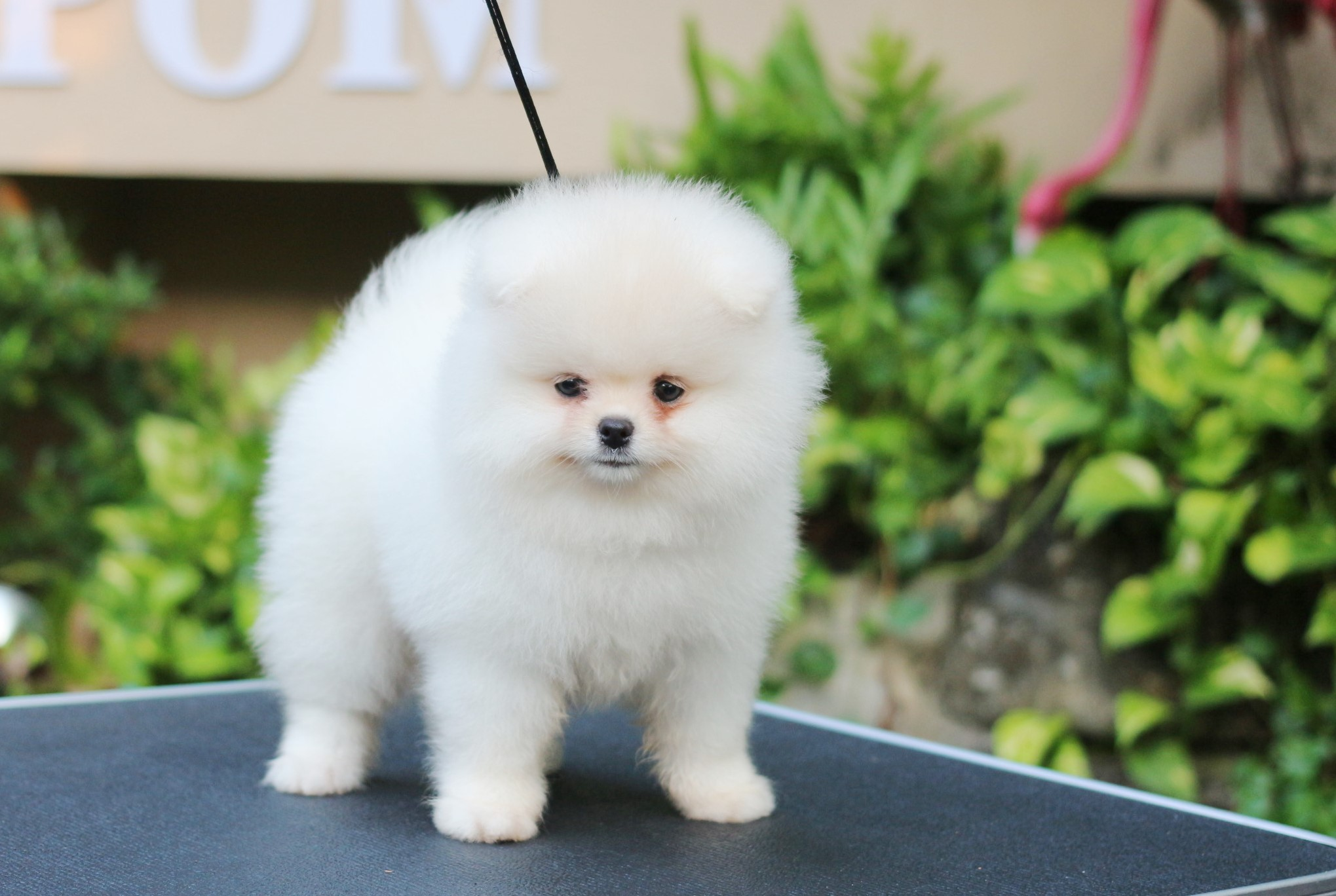 Pomeranian Thailand